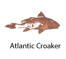 species_Atlantic Croaker