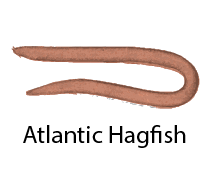 species_AtlanticHagfish