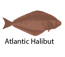 species_AtlanticHalibut