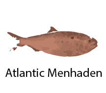 species_AtlanticMenhaden