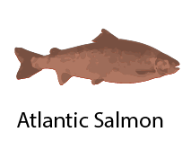 species_AtlanticSalmon