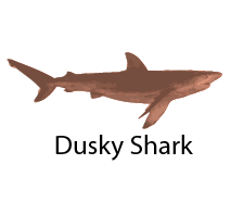 species_DuskyShark