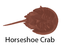 species_HorseshoeCrab