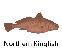 species_NorthernKingfish