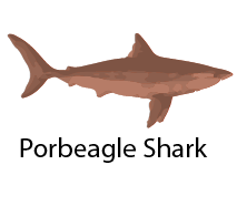 species_PorbeagleShark