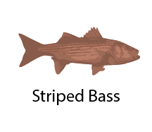 species_StripedBass