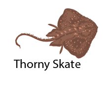 species_ThornySkate