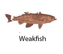 species_Weakfish