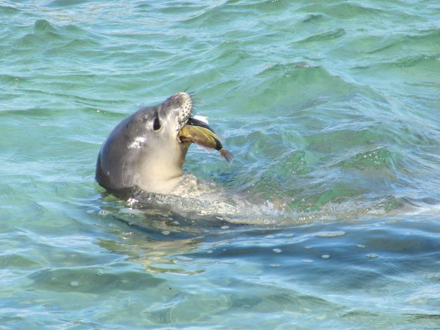 Hawaii's State Mammal