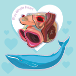 whale heart infographic thumbnail