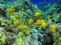 Coral Reef with Yellow Tang