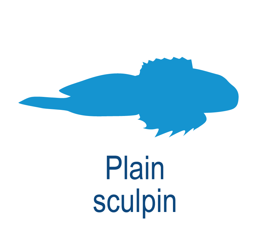 Plain sculpin