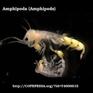 t4000015 order amphipoda amphipods